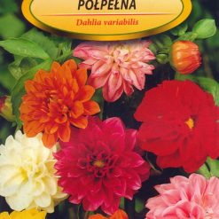 Polish Mixed Dahlia Seeds - Dalia Zmienna Polpelna-0